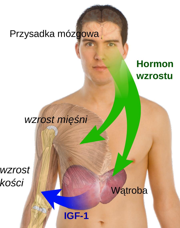 Hormon wzrostu człowieka